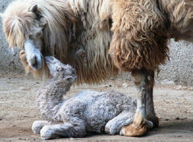 В Одесском зоопарке родился верблюжонок