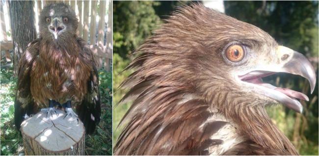 Коршун / Фото: Центр реабилитации хищных птиц, Новосибирск