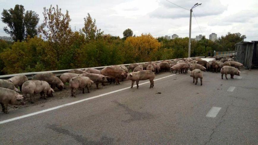 УХаркові патрульним довелось «арештовувати» свиней, які перекрили окружну дорогу