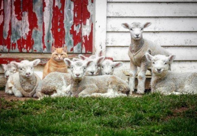 Ягнята признали кота Стива своим лидером / Фото instagram.com/amanda_whitlock