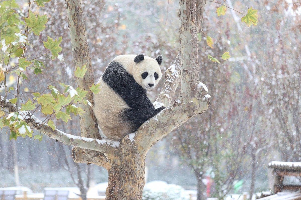 Панда у Китаї вперше у своєму житті побачила сніг / REUTERS