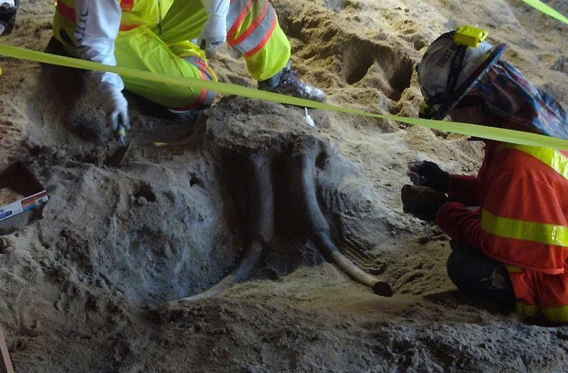 ВЛос-Анджелесе рабочие отыскали останки мамонта при рытье тоннеля метро