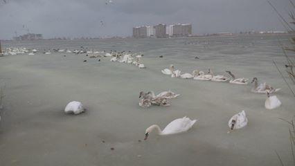 Два лебедя уже замерзли / Новости Крыма