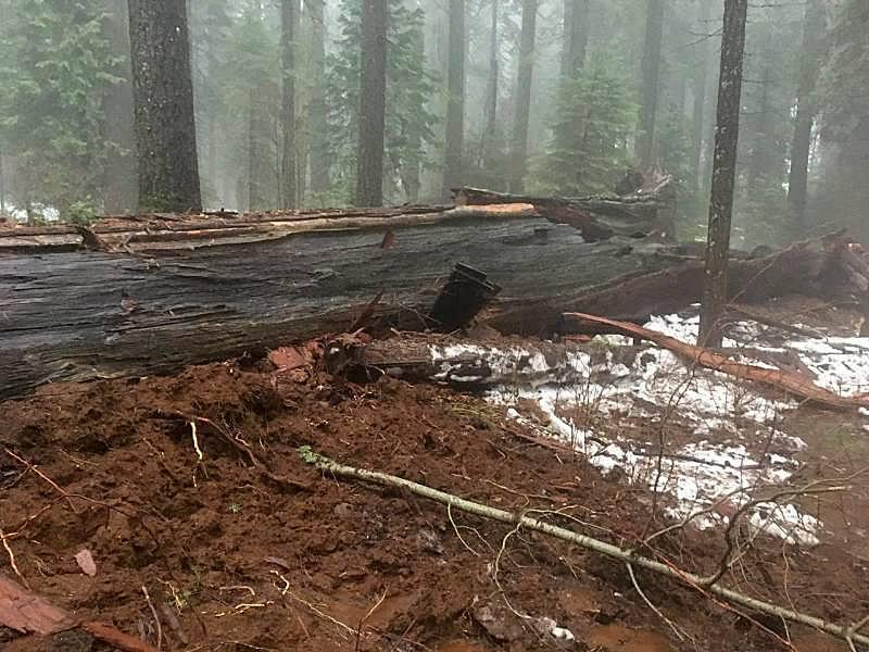 Диаметр дерева у основания составлял почти 10 м / facebook.com/Calaveras-Big-Trees-State-Park