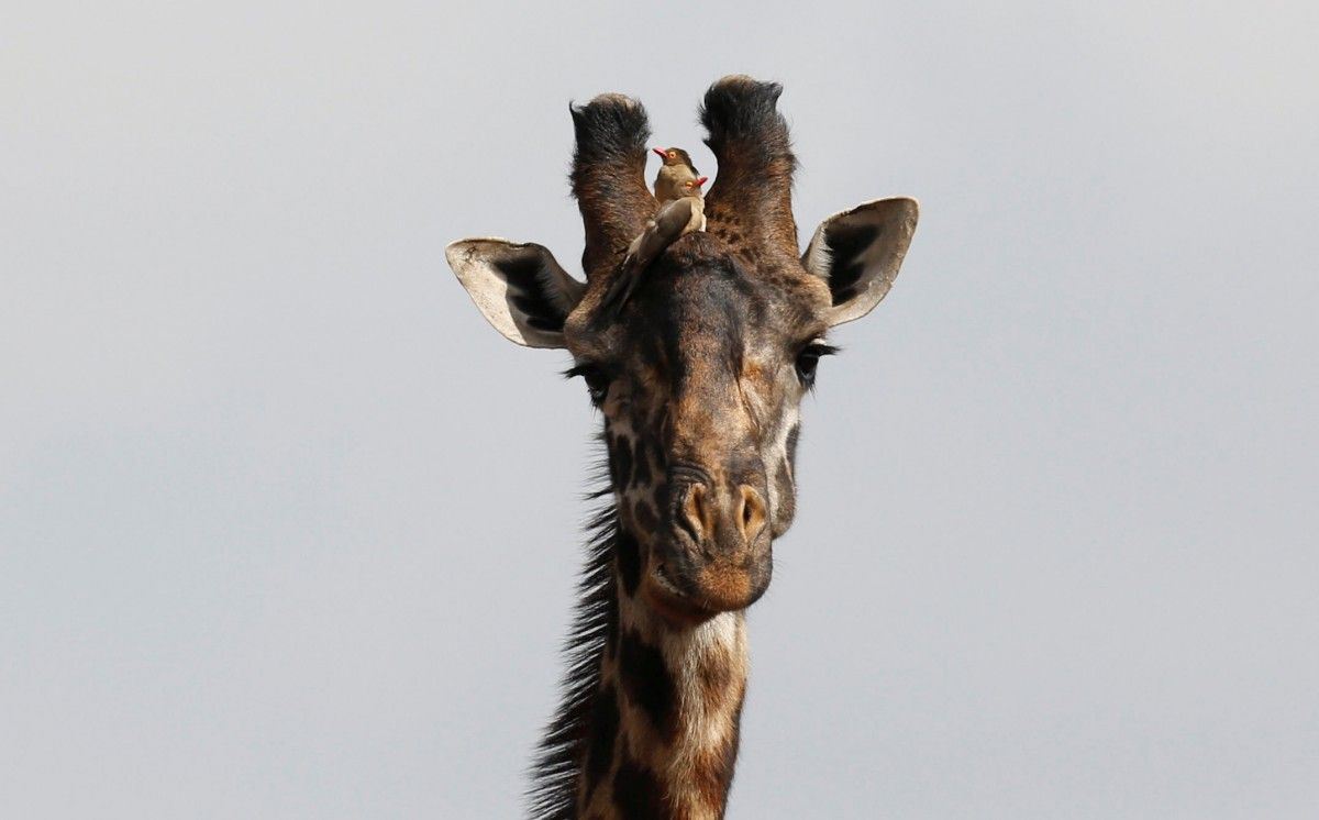 Около 1,2 млн человек наблюдали зародами жирафихи изамериканского зоопарка