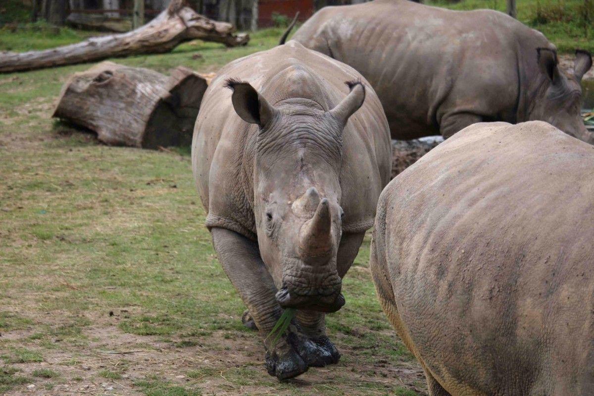 ВоФранции изверги пробрались взоопарк иубили особого белого носорога