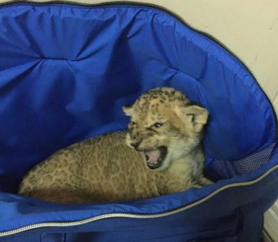 Новорожденного львенка пытались скрытно вывезти изУкраины вТурцию
