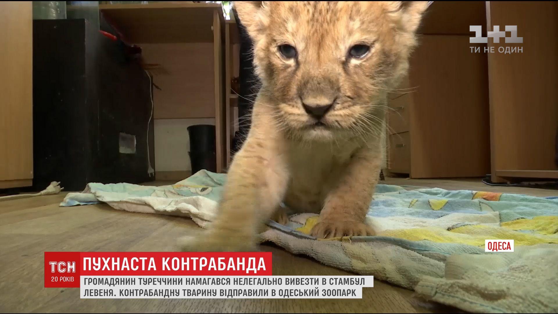 ВЧерноморском порту таможенники среди тыс. попугаев отыскали крошечного львенка