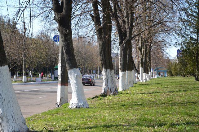 Встолице запретили белить деревья ибордюры