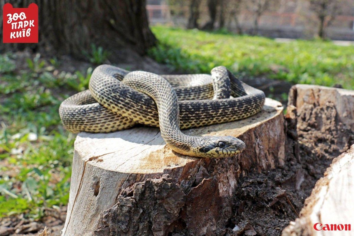 Надетской площадке вКиеве нашли большую редкую змею