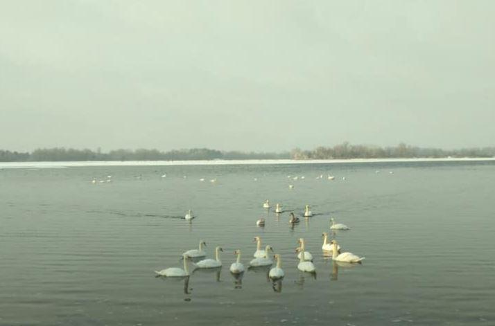 На Бортнической станции очистки воды поселились лебеди photo
