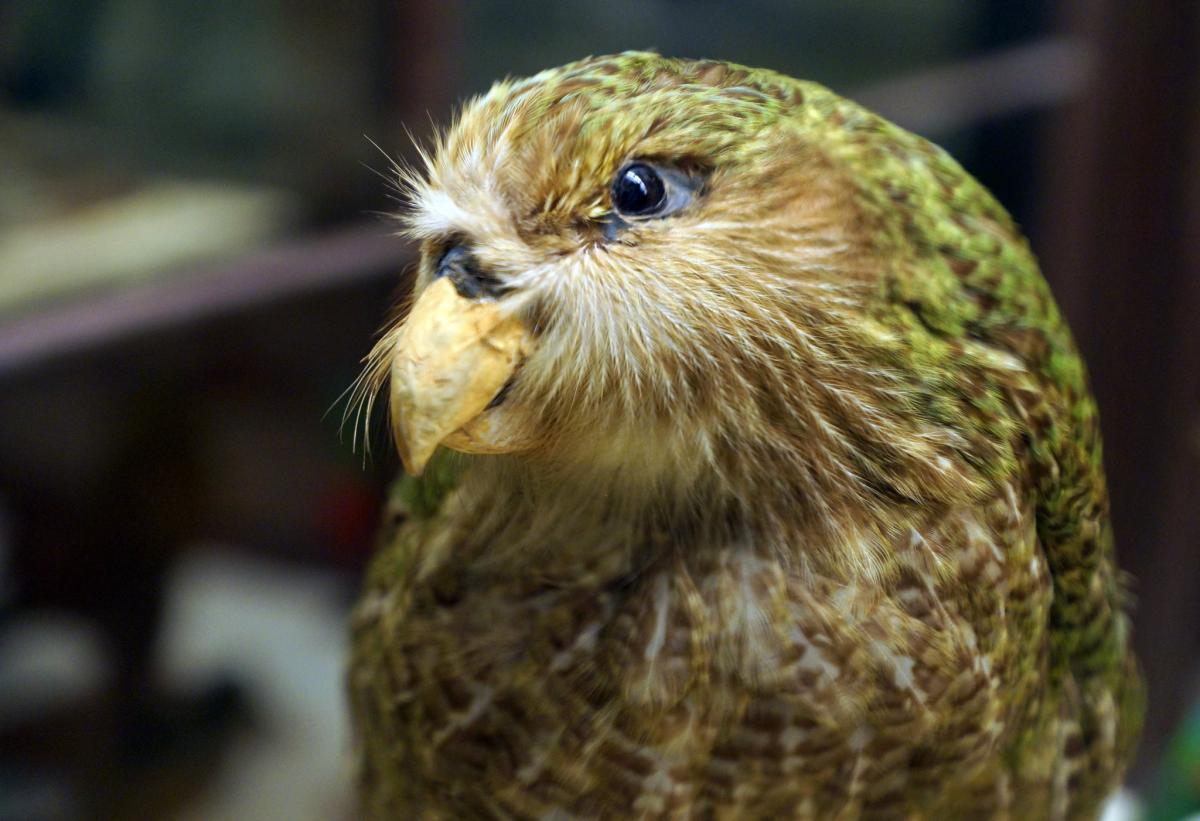 У Новій Зеландії намагаються вберегти від зникнення найтовстішого в світі папугу