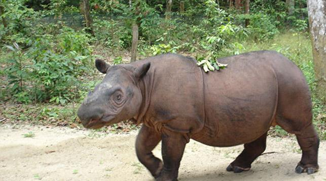 В Малайзии умер последний самец суматранского носорога photo