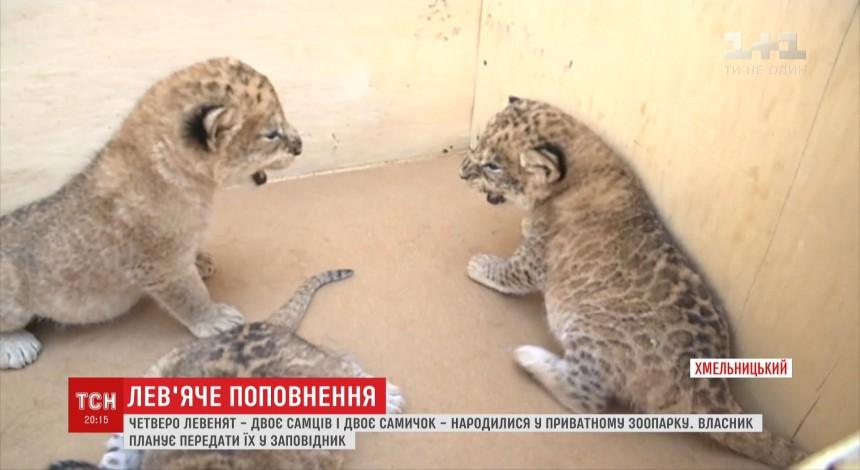 U xmel'nyc'komu pryvatnomu zooparku narodylysya četvero levenyat (video)