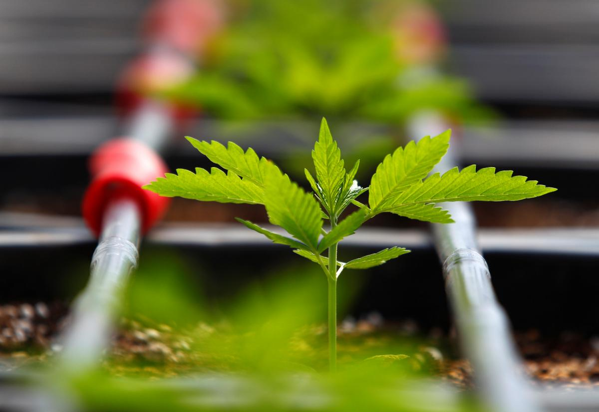 Анна Чайка — Доступна «травка». Навіщо Україні легалізована марихуана — новини України — УНІАН