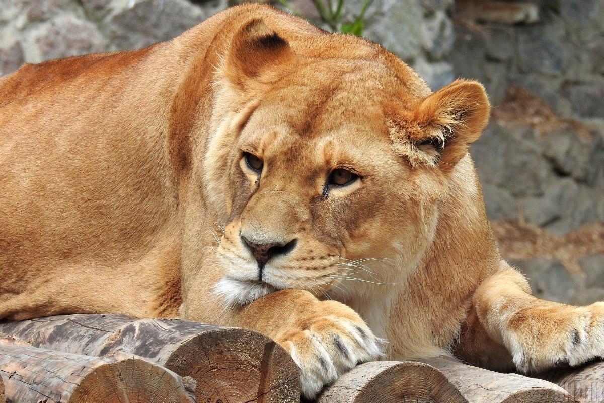 1590321899 7651 - Коронавирус у животных - в зоопарке Барселоны заболели львы