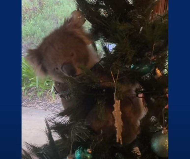 В Австралии семья вернулась домой и обнаружила на новогодней елке коалу (видео) — последние новости