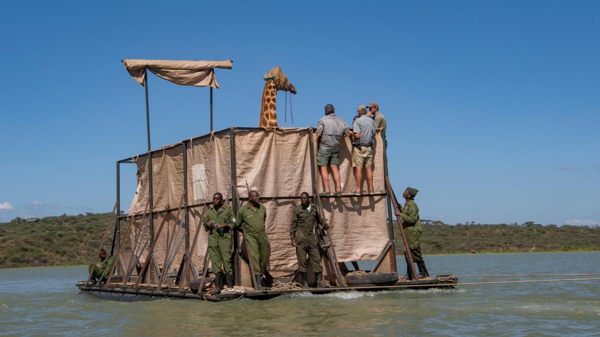 Жирафы застряли на острове - фото спасательной операции