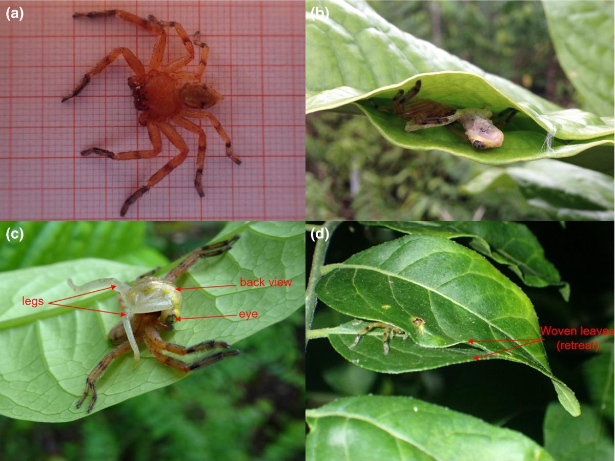 Ученые выяснили странные факты об охоте мадагаскарских пауков