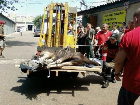 """Рятувальники вкололи тварині заспокійливе, аби та не брикалася при евакуації. Фото """"Сєгодня"""""""