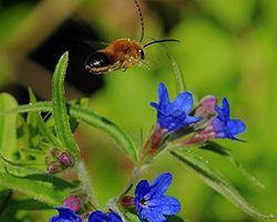 Бджола летить над квіткою в Нікітському ботанічному саду. Ялта, 21 квітня