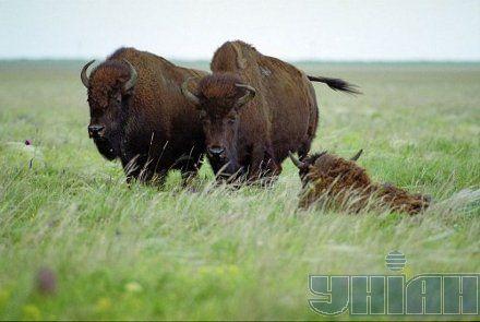 буйвол аскания-нова асканія-нова тварини степ животные заповедник заповідник