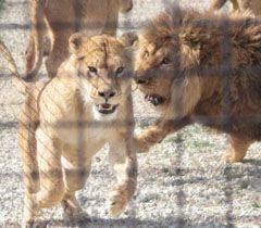 Львы в сафари-парке «Тайган» в Белогорском районе Крыма