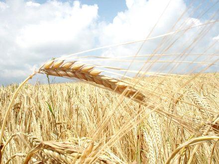 По прогнозам, больше зерна экспортируют только США