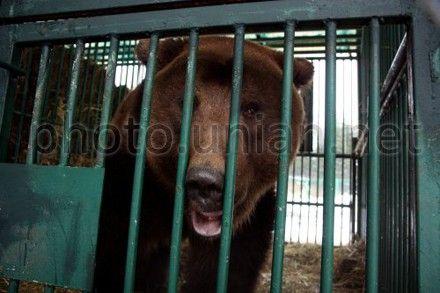 В подпольном швейном цехе жил медведь