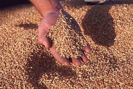 По мнению эксперта, необходимо установить минимальные цены на зерно / Фото: ТСН