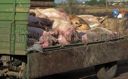 В России думают, как бороться с чумой свиней