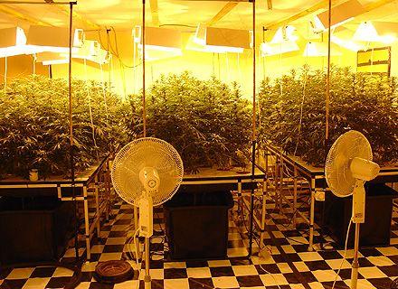 марихуана / Фото: psyplants.org