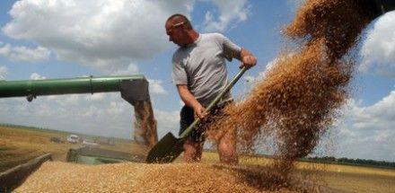 На сегодня аграрии уже намолотили более 13,3 млн тонн зерна