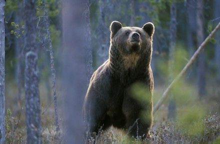 Медведица шла с медвежонком / Фото: freewebs.com