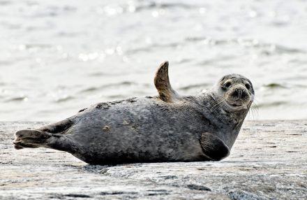 У браконьеров изїяли тюленей / Фото: oceanology.ru