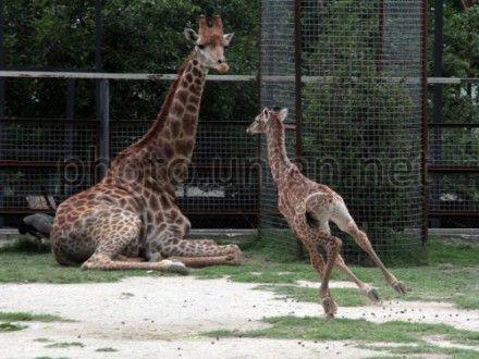 Жирафов переселят в помещение