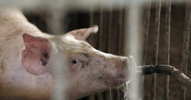 Достижения украинского свиноводства могут быть сметены вирусом африканской чумы свиней / Фото УНИАН