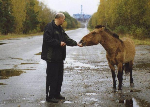 Мужчина кормит коня Пржевальского в 30-километровой зоне Чернобыльской АЭС.