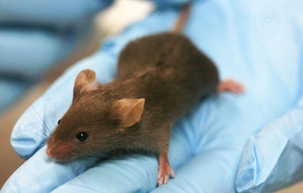 теиксобактин - показал свою эффективность в лечении мышей от инфекций, устойчивых к лекарствам/ en.wikipedia.org