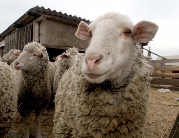 По мнению местных жителей, овца стала ассоциировать себя с дикими животными / Фото УНИАН