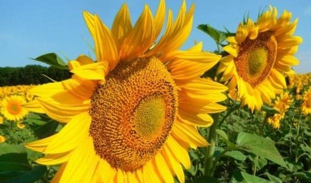 С сентября Украина увеличила производство подсолнечного масла на 10% / фото УНИАН