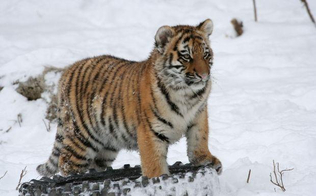 У РФ назвали умови полювання нарідкісних тварин/ фото wikimedia.org