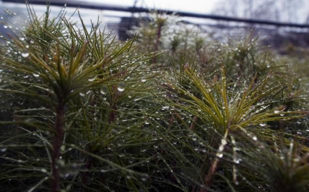 Гослесагентство начало реализацию новогодних елок / фото УНИАН