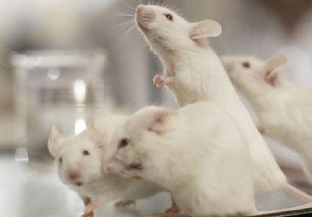 Хантавирус передается от крыс / фото ekospektr.ru