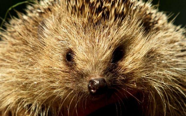 Влада намагається знищити тварин шляхом вилову, полювання та отруєння / фото REUTERS