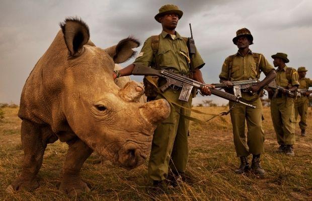 Носороги находятся на грани вымирания / olpejetaconservancy.org