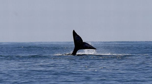 Япония снова начинает вылов китов / moya-planeta.ru