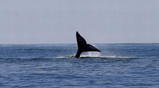 Мораторій на комерційний китобійний промисел був введений в 1986 році moya-planeta.ru