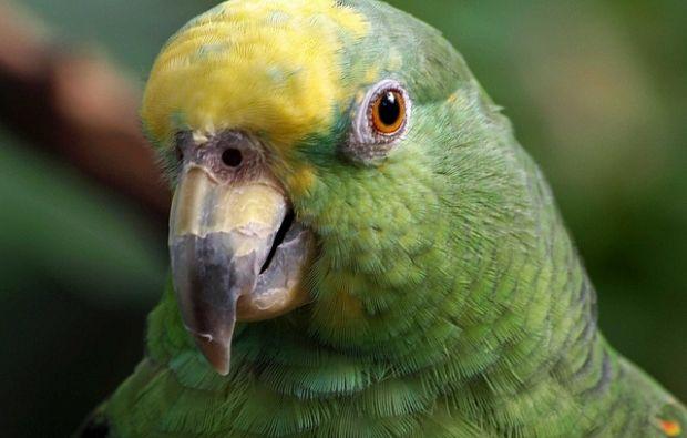 Попугай стал соучастником преступления / фото flickr.com/photos/46143783@N04