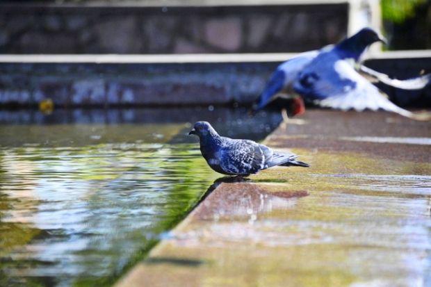 Голуби п'ють з фонтану / фото ZN.UA
